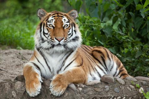 A photograph of a tiger