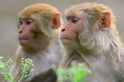 Pair of Rhesus macaque monkeys in Kathmandu