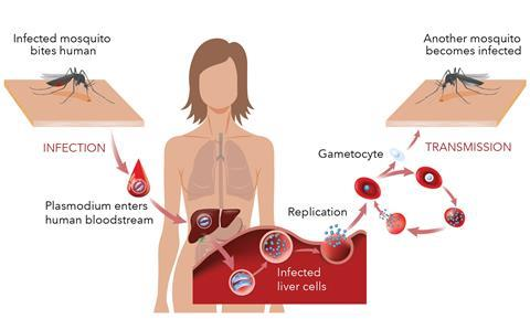 An image showing the malaria life cycle