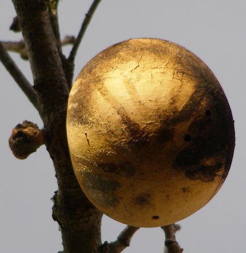 Oak apple gall on Garry oak (Quercus garryana), Sonoma County, California