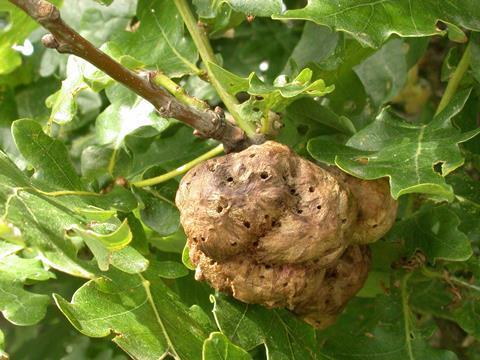 Oak gall