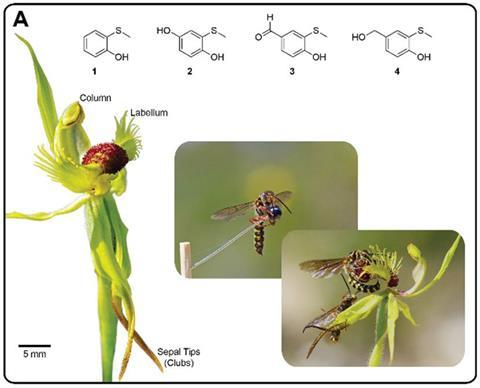 C. crebra with floral parts labelled, the pollinator C. flavopictus pseudocopulating with a pin spiked with synthetic semiochemicals and a flower. The structures of the four (methylthio)phenol semiochemicals are shown