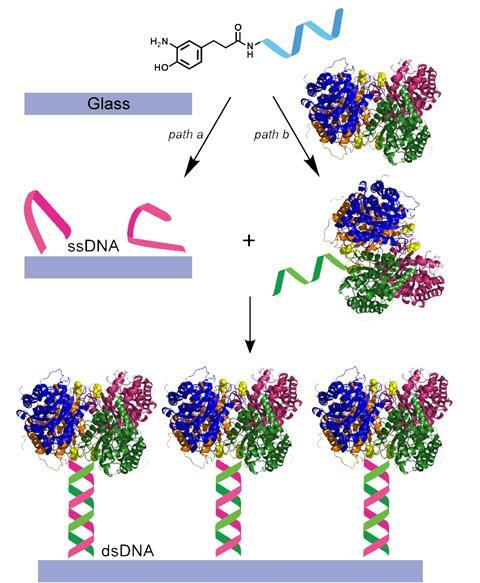 Schematic diagram of DNA-directed immobilization onto glass surface