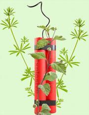 TNT_Rubia-and-Lippia-leaves_180