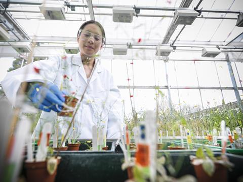 Scientist growing Thale Cress for genetic analysis