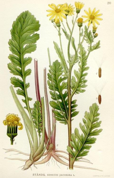Illustration of Jacobaea vulgaris, the Ragwort plant