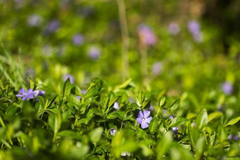Purple Vinca, periwinkle flower