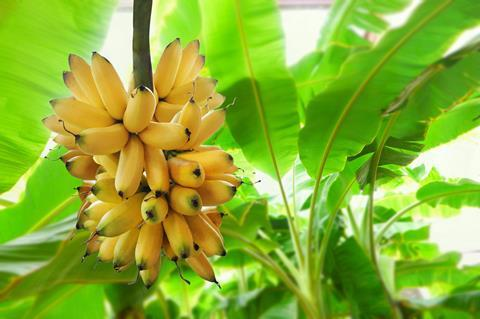 Bananas ripening on the plant