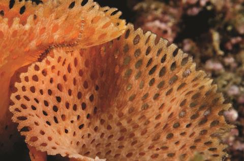Neptuns lace bryozoan