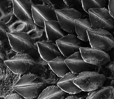 A close up image of shark scales