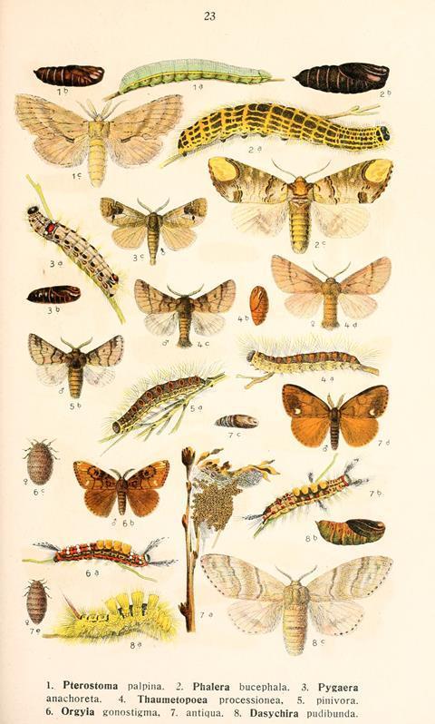 Plate from Die Schmetterlinge Deutschlands mit besonderer Berücksichtigung ihrer Biologie, Bd. 1-4, by K. Eckstein
