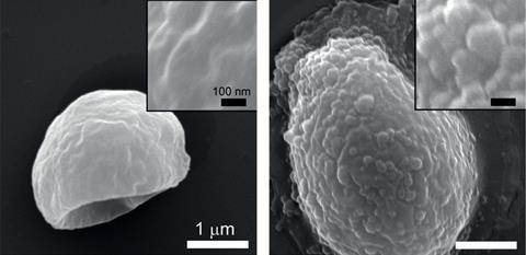 SEM images of (left) native yeast and (right) SMA-coated yeast