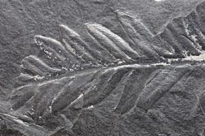 Fossil-leaf-300