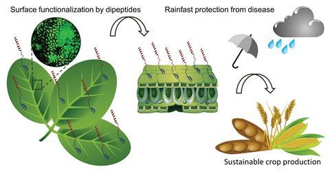 A graphical abstract showing how a bifunctional dermaseptin–thanatin dipeptide functionalises the crop surface for sustainable pest management