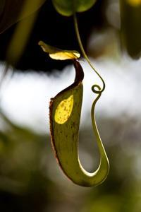 Nepenthes-pitcher-plant_200