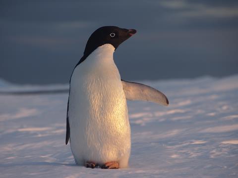 adelie penguin credit Karen Assmann