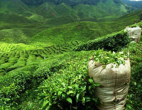 Tea plantation - CE1216 - shutterstock 109572140