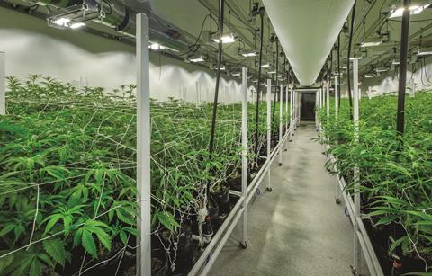 Growing medical marijuana cannabis
