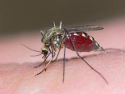 mosquito_shutterstock_250