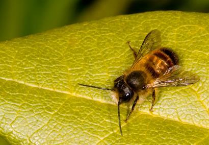 Bee-on-leaf_410