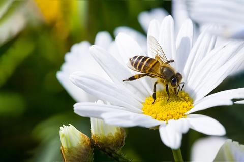 A close up picture of a bee collecting pollen from a flower