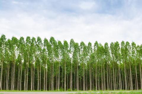 An image showing an eucalyptus tree forest