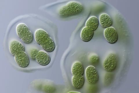 Aphanothece sp. cyanobacteria light micrograph