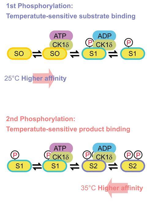 Two mechanisms for phosphorylation and temperature compensation