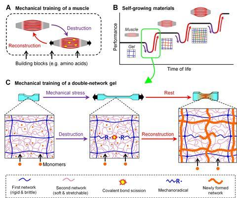 A conceptual scheme of the self-growing hydrogels