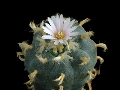 Lophophora williamsii cactus with flower