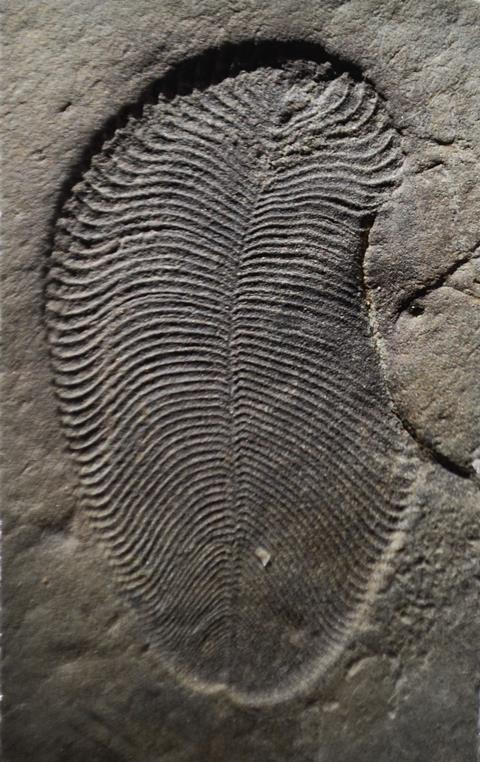 A photograph of organically preserved Dickinsonia fossil from the White Sea area of Russia