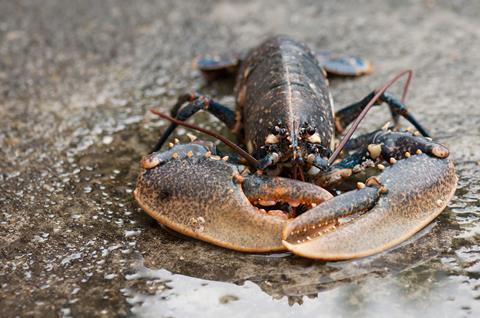 Live conmmon lobster, Homarus gammarus, on wet stone