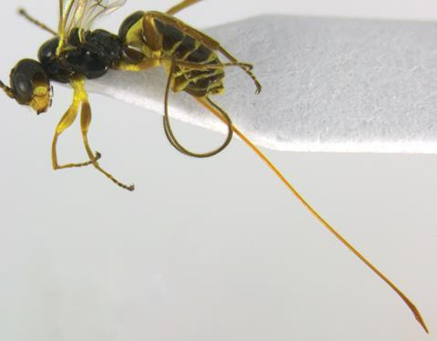 Idiogramma elbakyanae wasp