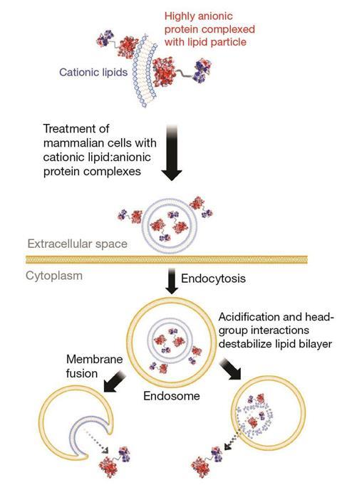 Strategy for delivering proteins into mammalian cells (endocytosis)