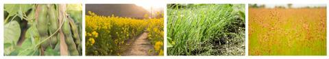 A collated image showing velvet bean, mustard plants, lemongrass and fimbristylis