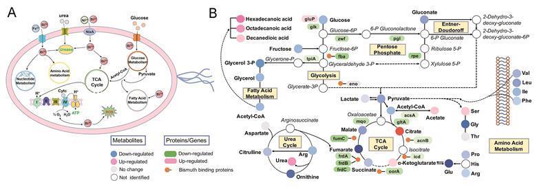 Adaptive and toxic responses of H. pylori